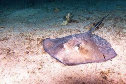 stingray on the ocean floor