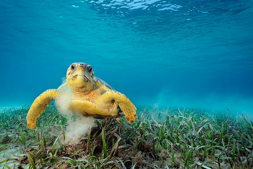 Sea Turtle and Seagrass