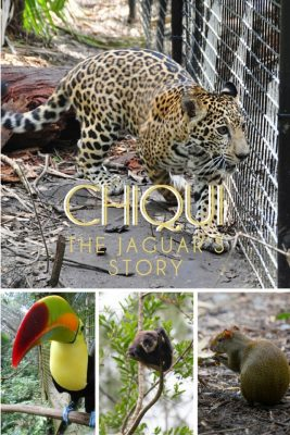 The Belize Zoo's Newest Exhibit Opens! Chiqui the Jaguar's Story