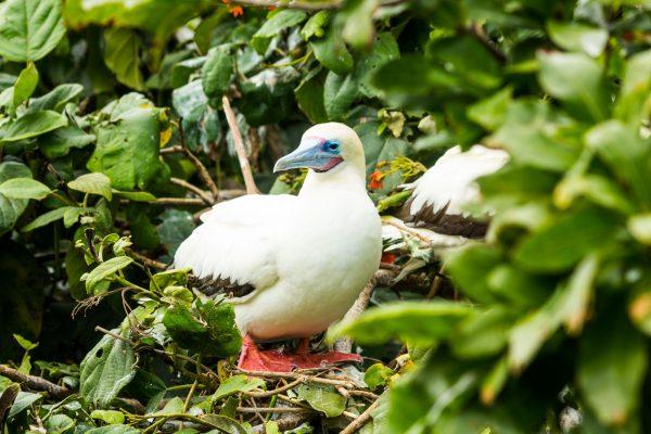 Red Foot Booby Bird_sandypointresorts