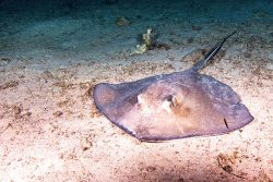 stingray on the ocean floor