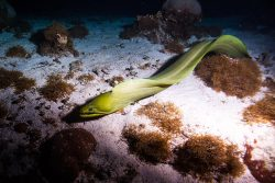 Eel in the Belize Barrier Reef