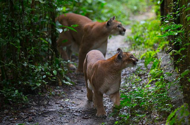 Pumas at the zoo