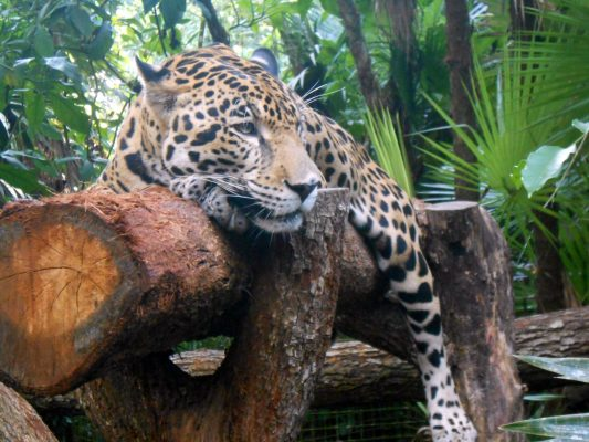 Junior the Jaguar