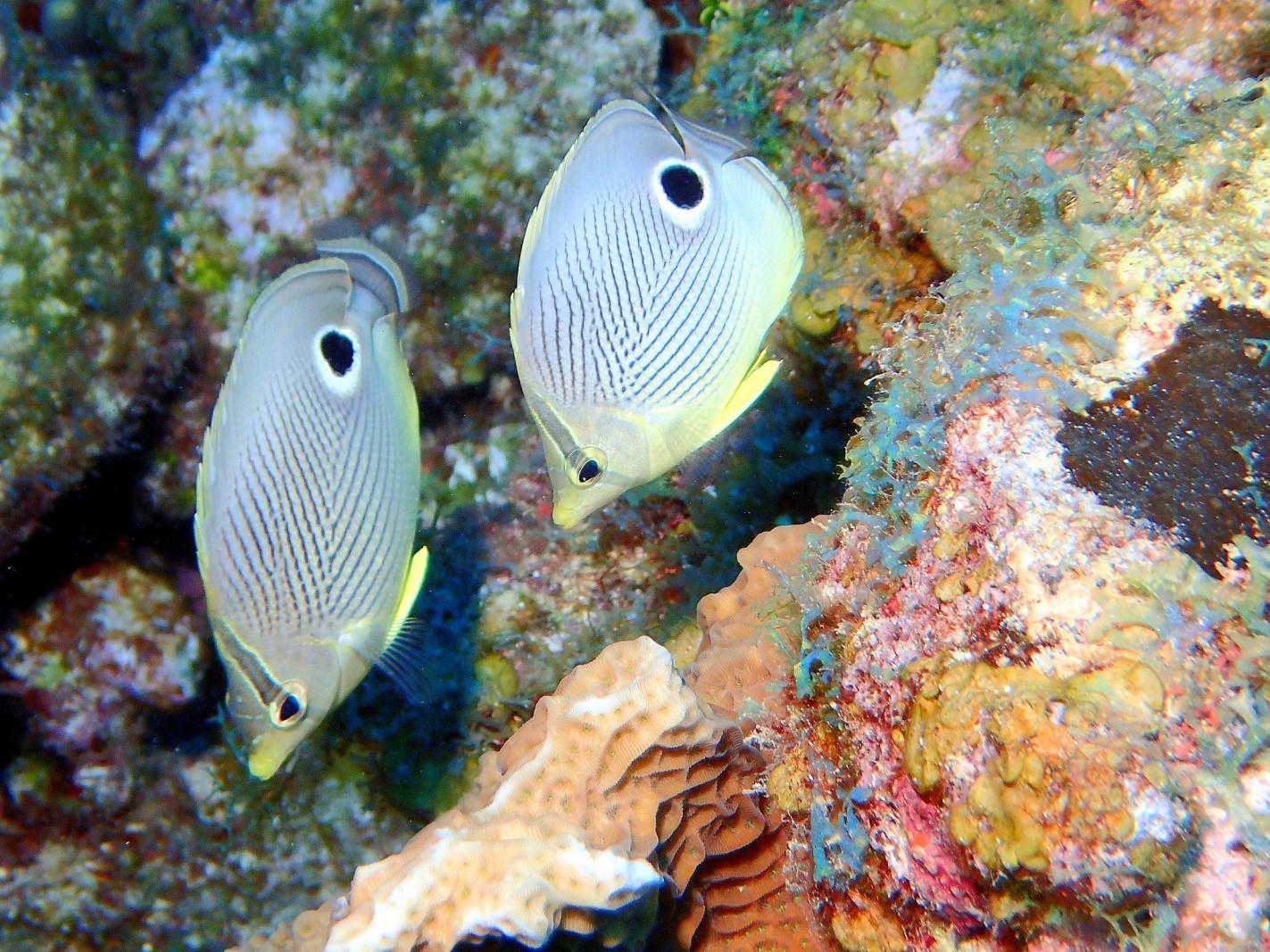 Four-eye Butterflyfish, Chaetodon capistratus
