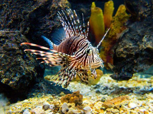 Belize_lionfish