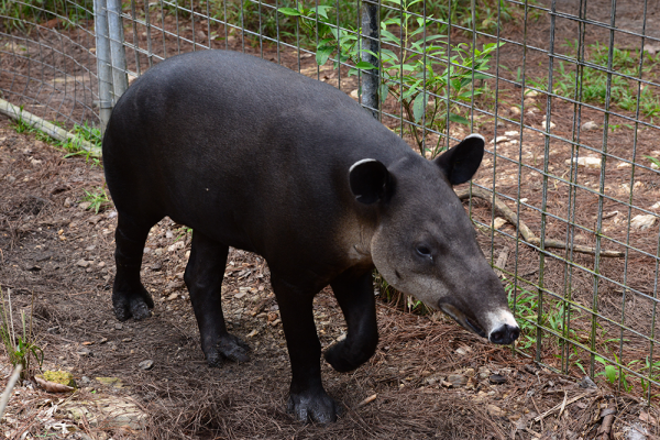 Belize Zoo-Tapir