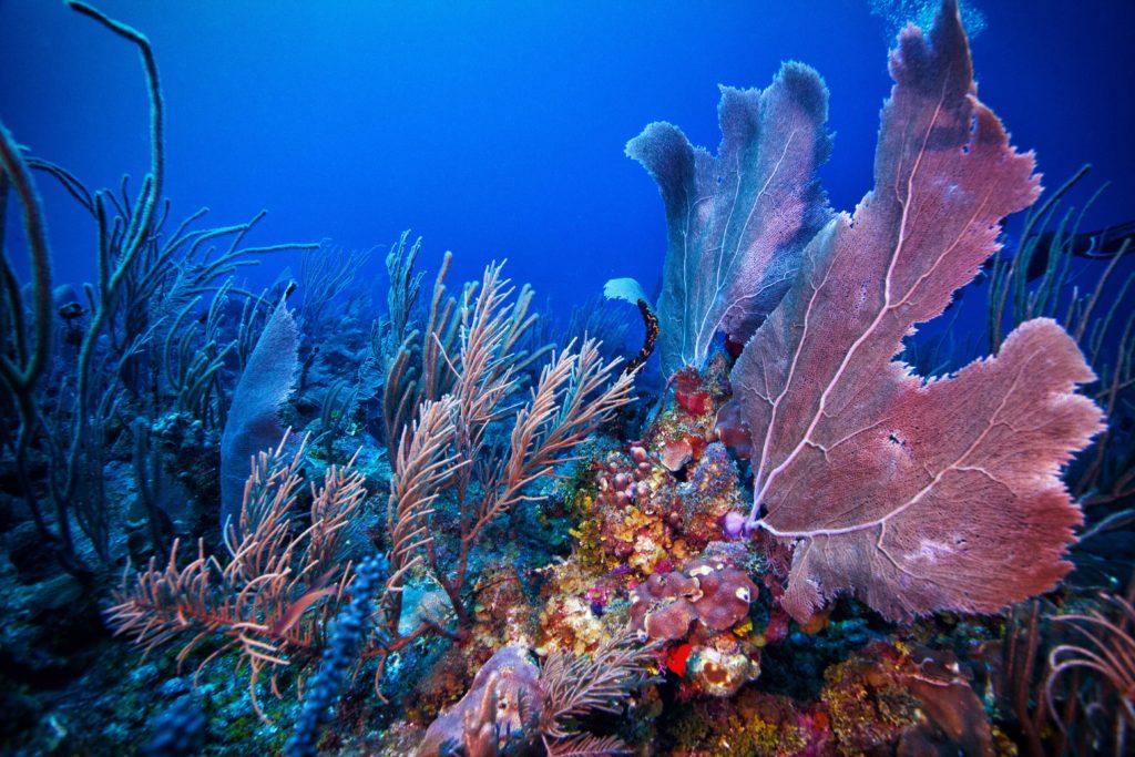Belize-Barrier-Reef-Corals